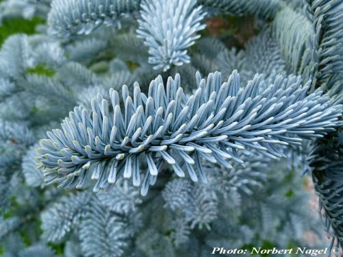 Abies procera 'Glauca' - Kék nemes jegenyefenyő