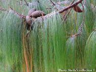 Pinus patula - Leányhajfenyő