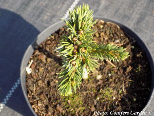 Picea abies 'Maxwellii' - Maxwell törpe lucfenyő