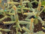 Picea abies 'Pendula' - Csüngőágú lucfenyő