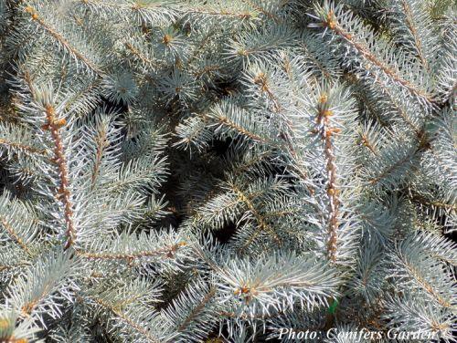 Picea pungens 'Edith' - Edith ezüstfenyő