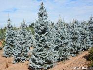 Picea pungens 'Hoopsii' - Hoopsii ezüstfenyő