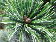 Pinus aristata - Gyantástűjű szálkásfenyő