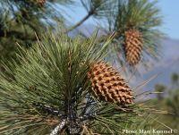 Pinus coulteri - Óriástobozú fenyő