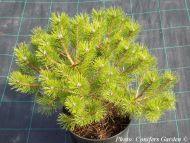 Pinus densiflora 'Low Glow' - Törpe japán erdeifenyő