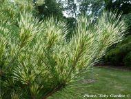 Pinus densiflora 'Oculus Draconis' - Sárkányszem fenyő