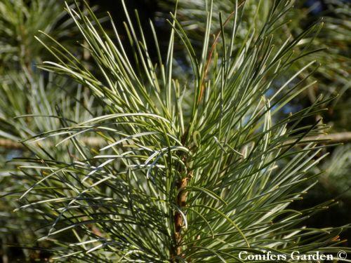 Pinus koraiensis 'Glauca' - Kéklombú koreai cirbolya