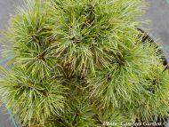 Pinus strobus 'Sea Urchin' - Törpe gömb simafenyő