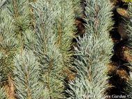 Pinus sylvestris 'Fastigiata' - Oszlopos erdeifenyő