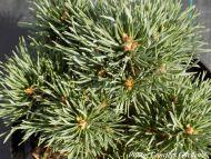 Pinus sylvestris 'Frensham'