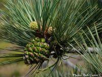 Pinus torreyana - Torrey-fenyő